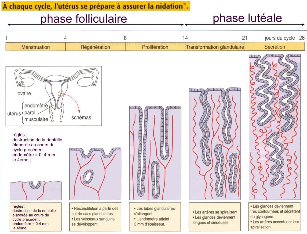 cycle uterin schema cette page a été générée par xnview