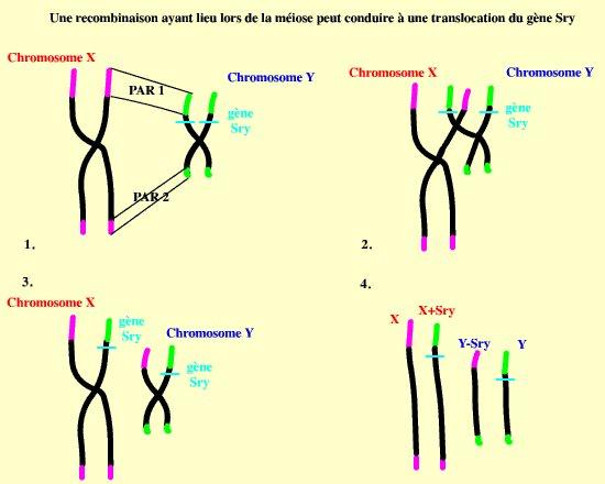 Nondisjunction of sex chromosomes in males