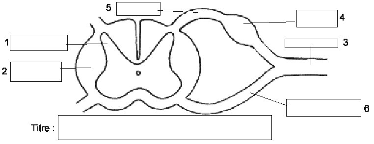 Systeme nerveux - Coupe transversale de moelle epiniere ...